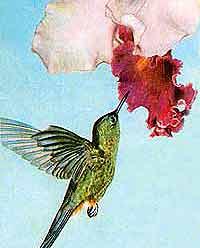 Чтобы не умереть с голоду, колибри должна ежедневно добыть порцию нектара, равную половине своего веса