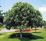 Дерево убийца