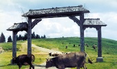 Гуцульские коровы