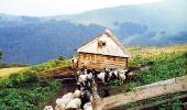 Гуцульские овцы