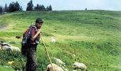 Гуцул и овцы