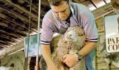 Стрижка овец по-австралийски