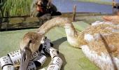 Астраханские лебеди