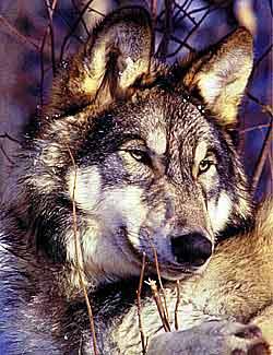 Современный волк