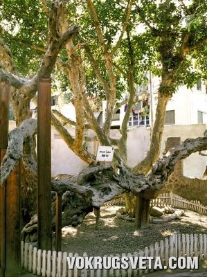 Дерево Марии