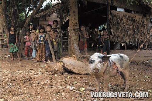 Кхмерская свинья