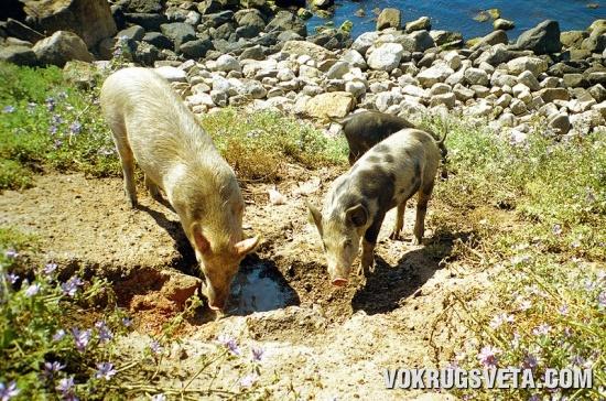 Свиньи, больше похожие на собак...