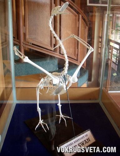 Скелет Лебедя