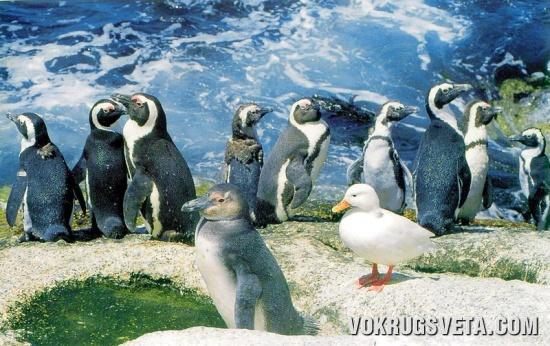 Пингвины и буревестник