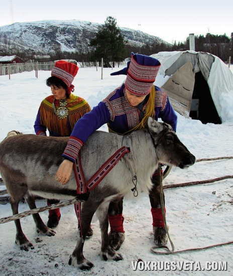 Саамы запрягают  оленя