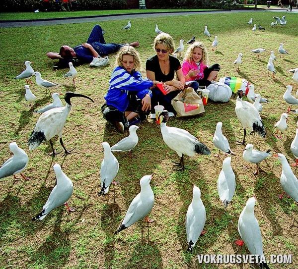 Чайки в порту Сиднея