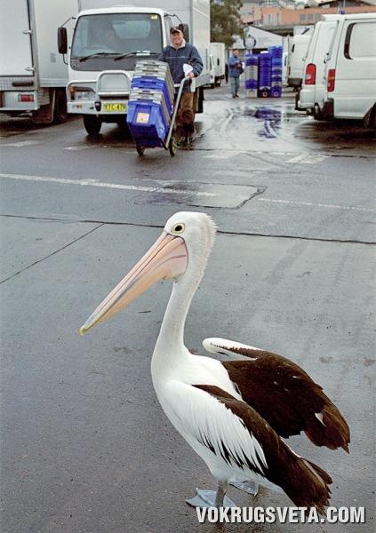 Пеликаны в Сиднее