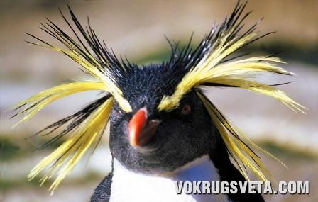 Златовласый пингвин