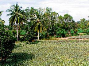 Участок тропического леса, расчищенный под плантацию ананасов. Таиланд