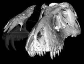 На фото модель носовой части черепа тираннозавра.  (Eric Snively, University of Alberta).